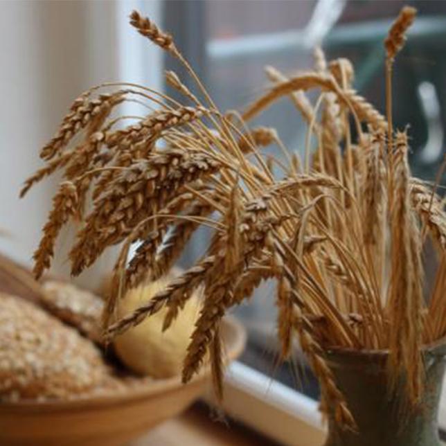 Økologisk og biodynamisk korn
